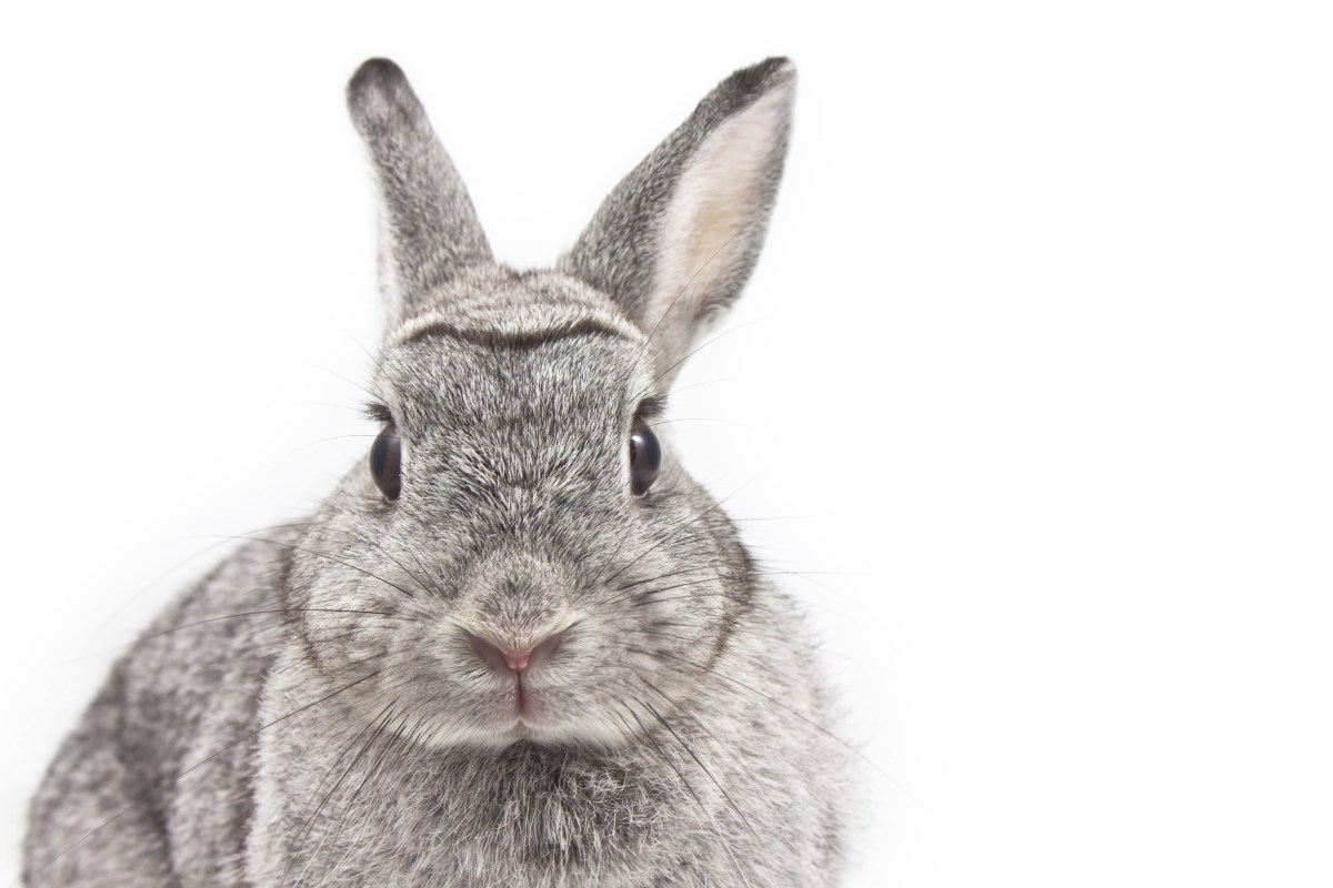 153228379-new-rabbit-adoption-tips